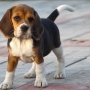Beagle Puppies Available For Re-homing