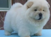 Chow chow puppies now ready