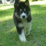 registerable black and white marking stot blue eyes siberian huskies for sale